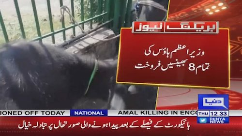 All buffaloes of PM house sold in Auctioned