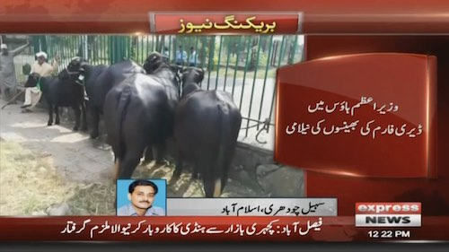 PM House buffaloes auctioned for Rs2.3 million