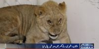 Lion's cub as a pet in Multani household