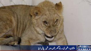 Lion's cub as a pet in Multani household