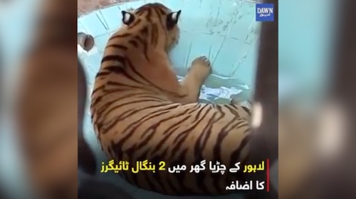 2 Bengali tigers arrive in Lahore Zoo