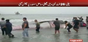 26 feet long whale stuck at seashore in Chile
