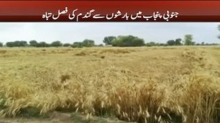 Wheat crops completely destroyed in south Punjab