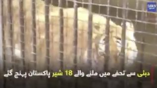 18 lions from Dubai!