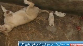 Lioness in safari park gives birth to 4 cubs
