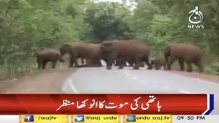 Funeral procession for dead elephant calf