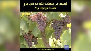 Grape farming in Punjab