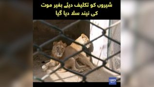 Lahore: Two lions were put to sleep in the zoo