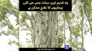 Tree that cures all diseases