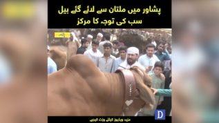 Multan's bulls to capture Peshawar cattle markets for Eid