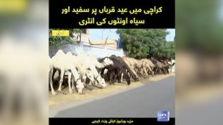 Black and white camels in Karachi
